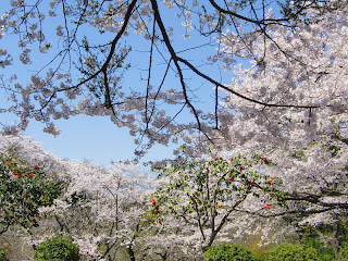 葛原岡神社の桜