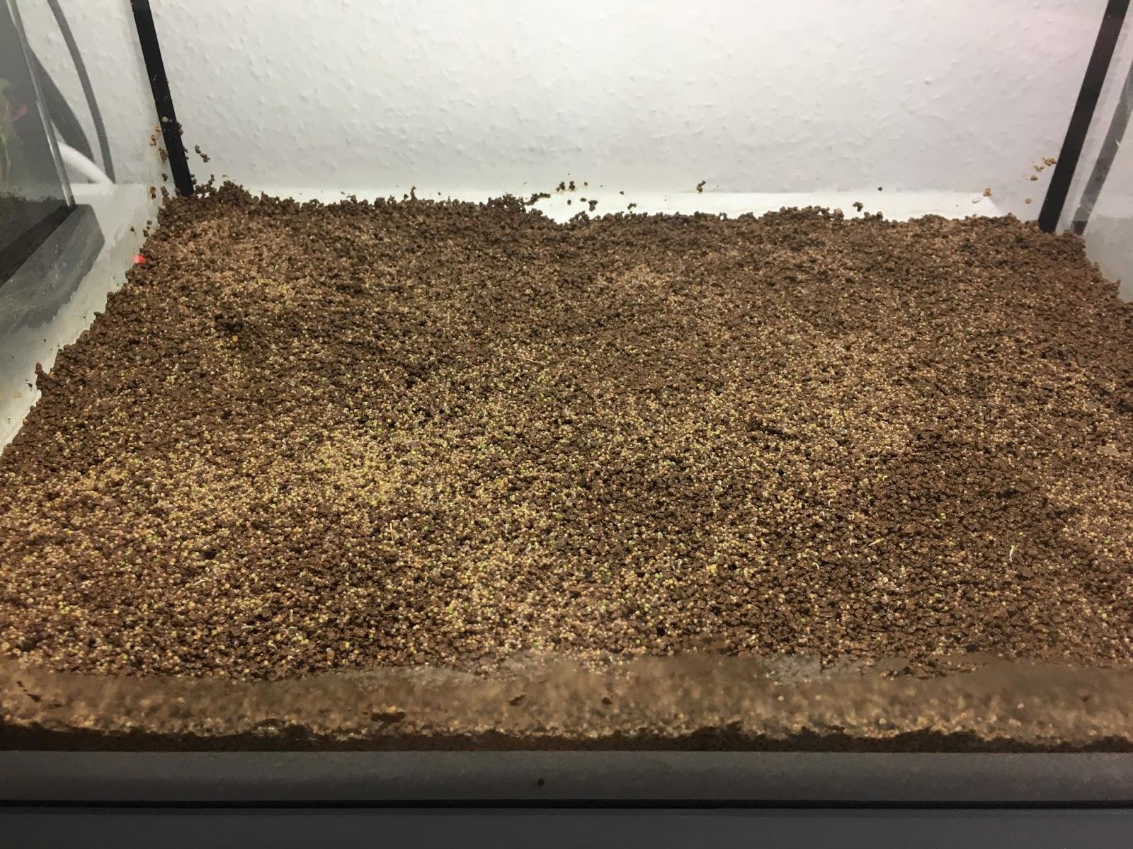 Aquarium Pflanzen Samen Erfahrungen Limnophila Sessiliflora Moos