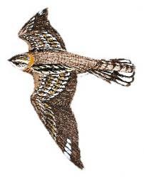 Hydropsalis cayennensis