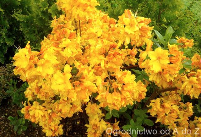 Rhododendron 'Sunte Nectarine'