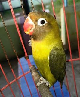 ciri-ciri lovebird olive