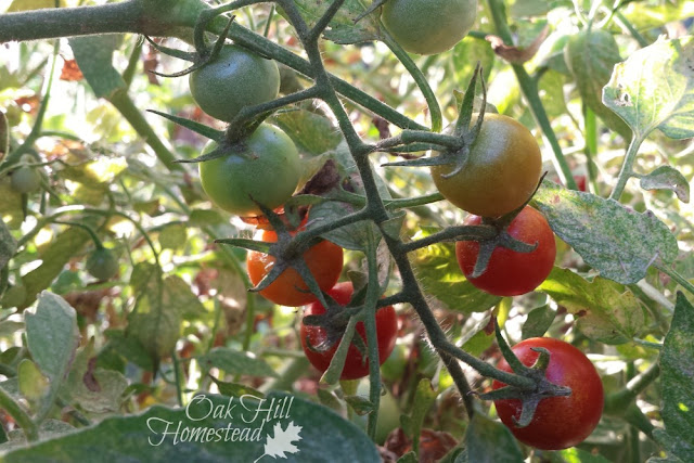 Cherry tomatoes in the summer garden