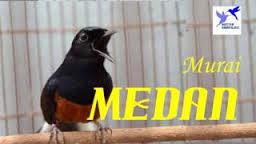 Download Suara Masteran Kicau Burung Murai Batu Durasi 30 Menit
