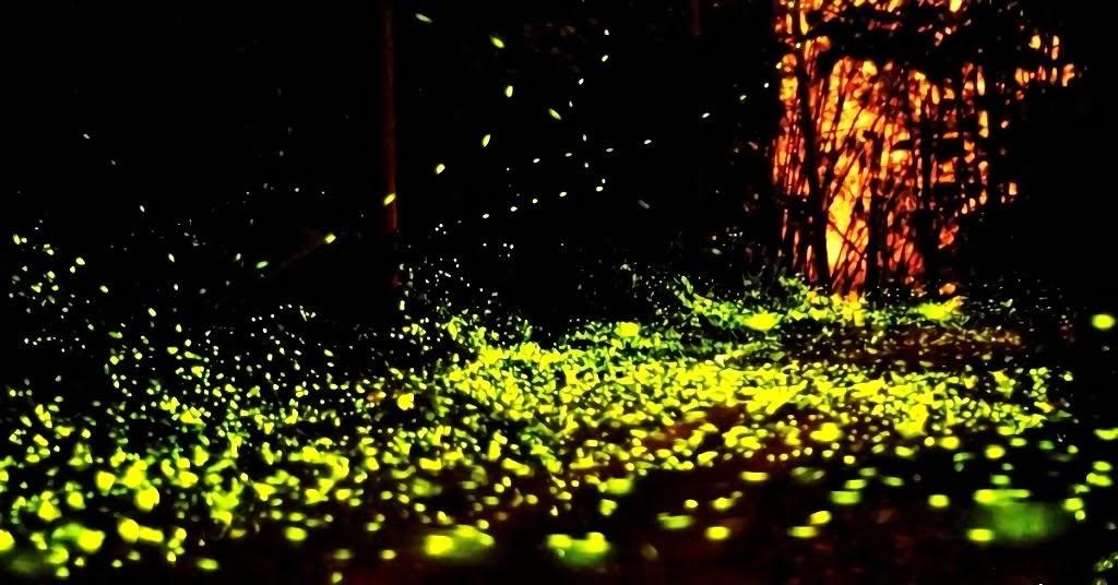 夢幻夜精靈成群飛舞猶如美麗「螢河」|南化區關山里「火金姑」景致迷人