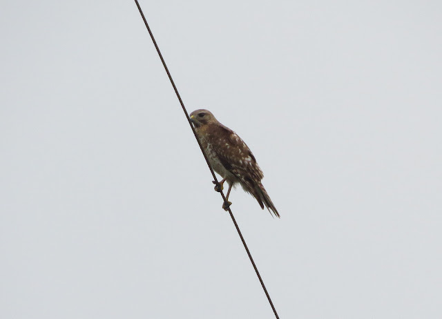 Red-shouldered Hawk - Merritt Island, Florida
