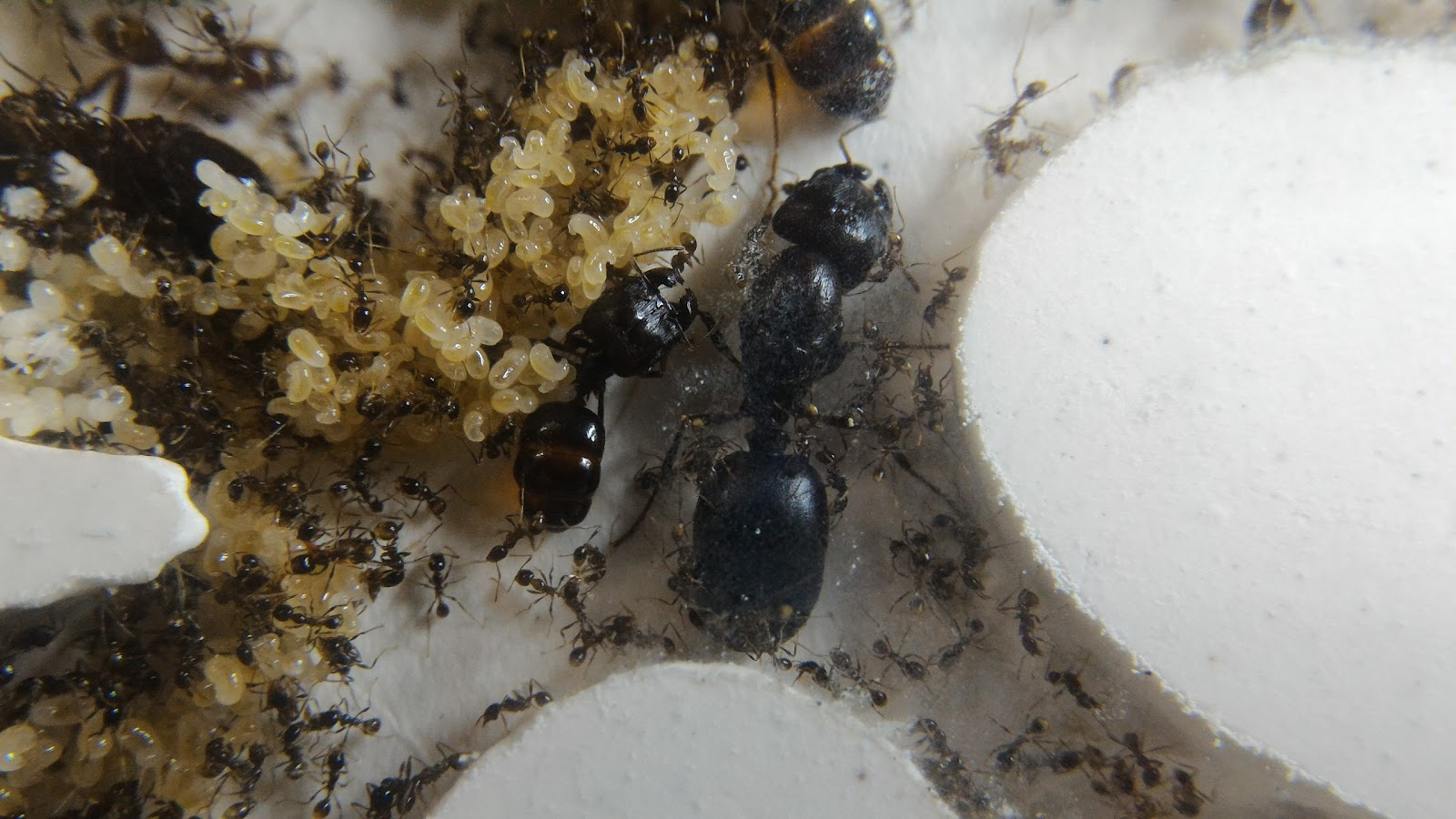螞蟻特遣隊: 【心得】多樣擬大頭家蟻(全異巨首蟻)