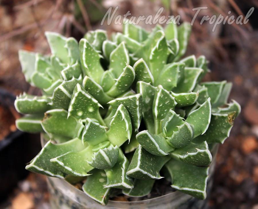 Planta suculenta perteneciente al género Faucaria