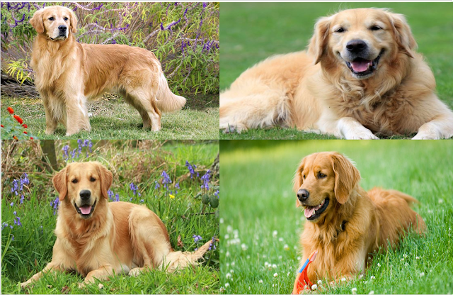 Golden Retrieve