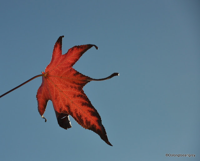Autumn Leaf, Perth Western Australia
