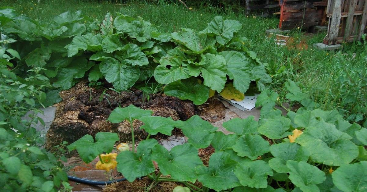 3 jardins au qu bec rhubarbe jus sirop et compote for Autre jardin quebec