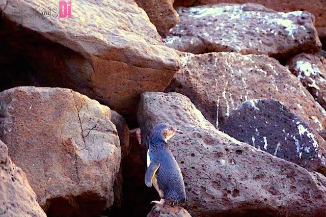 Pinguim em St Kilda