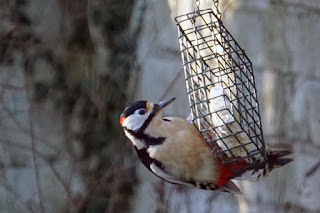 wildlife, birds, woodpecker,