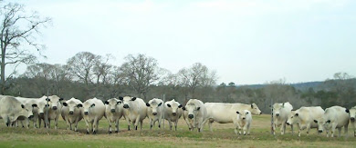 British White Cow Choir - Check out their Video!