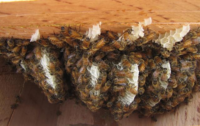 Πως χτίζουν οι μέλισσες τις κηρήθρες; Έβαλαν κάμερα και δείτε τι κατέγραψε...