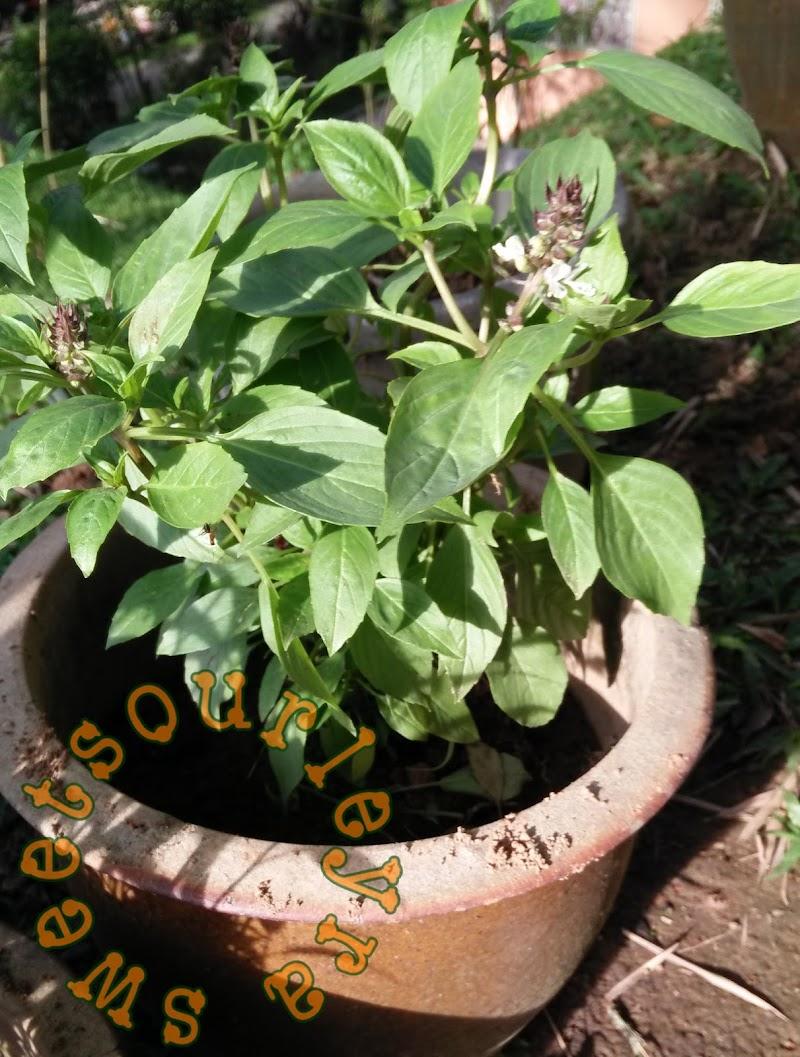Hobi baru! tanaman herba