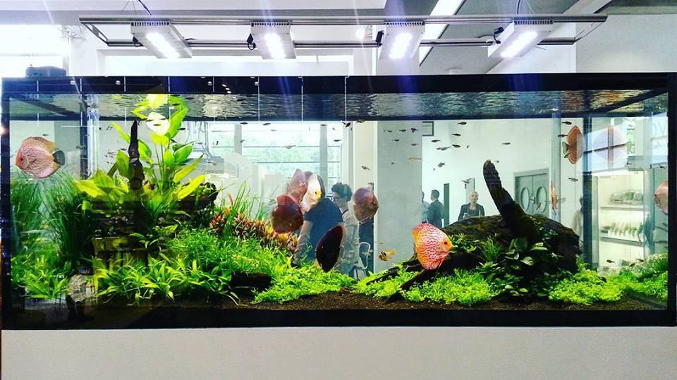 hồ thủy sinh chơi cá dĩa với kích thước khủng 200 x 80 x 90