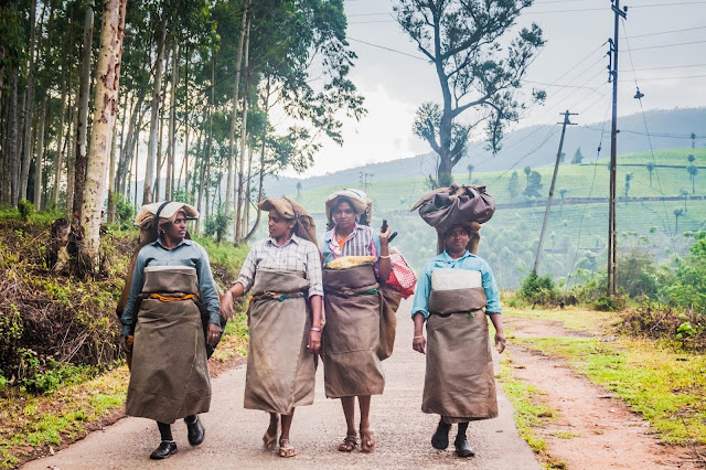 Indian women carrying tea after work on the tea plantation in Munnar, Kerala