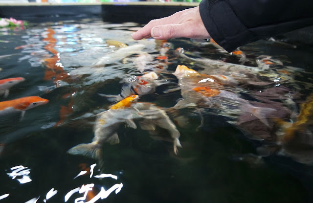 koi carp being fed by hand