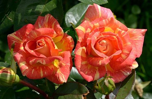 Caribia сорт розы фото отзывы
