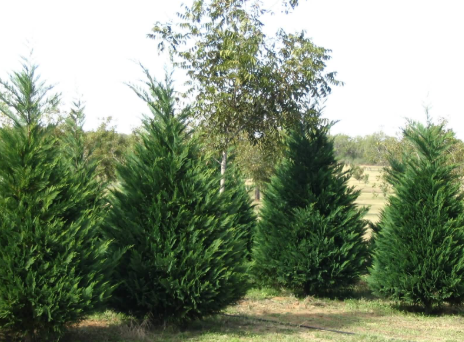 the various types of christmas trees - Kinds Of Christmas Trees