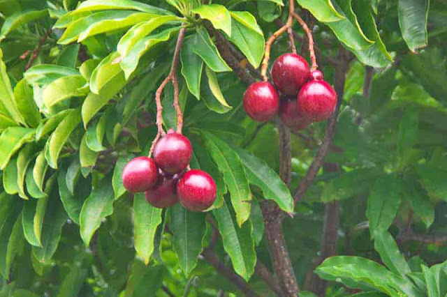 Cerbera mangas, red fruits, leaves, tree
