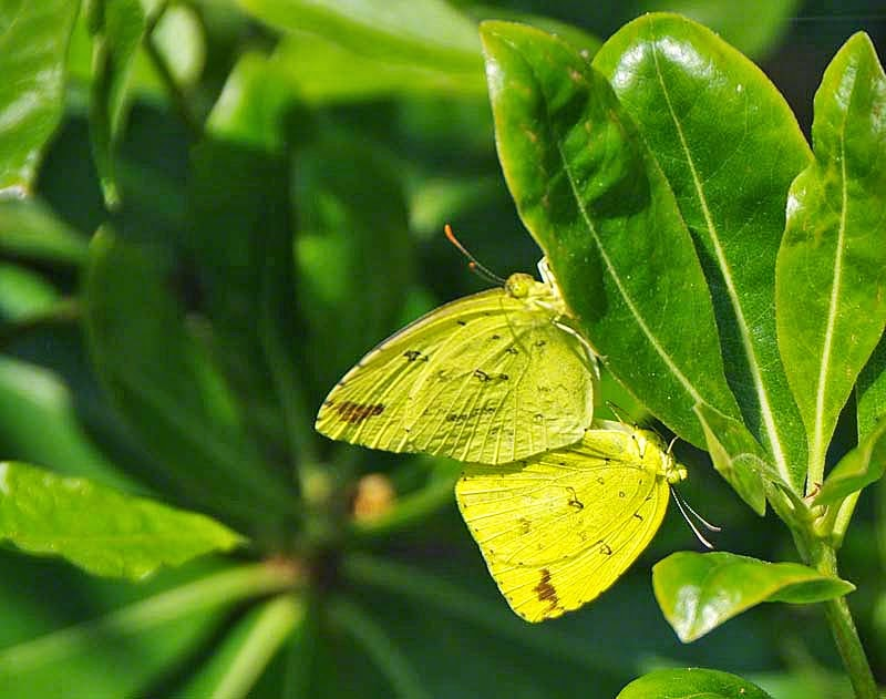 butterflies,mating,Common Yellow,nature