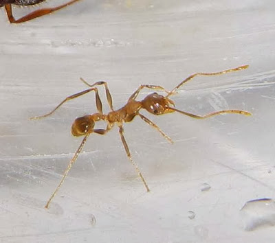 The minor worker of this trimorphic Pheidole ant