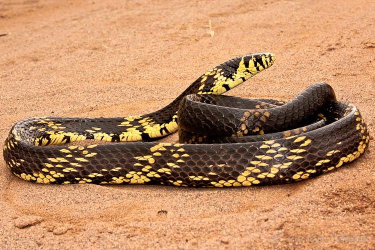 Cobra-Caninana (Spilotes pullatus)