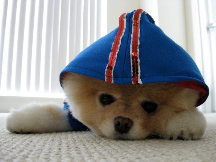 Most Inspiring Boo Army Adorable Dog - boo_Pomeranian_Dog_33+%25281%2529  Collection_764362  .jpg
