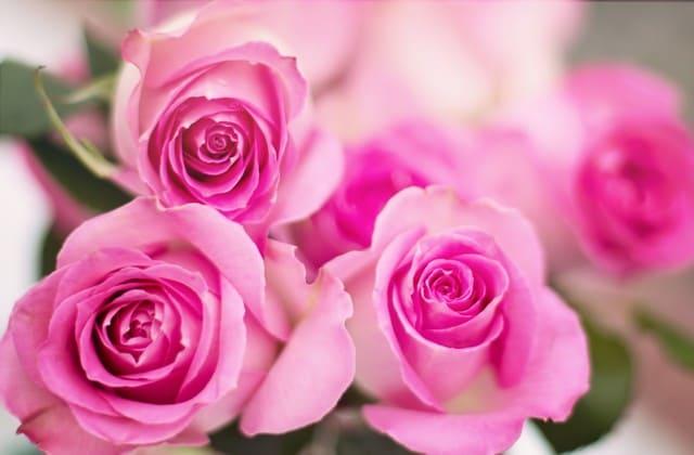Wallpaper Bunga Mawar Pink Cantik Graph Pedia