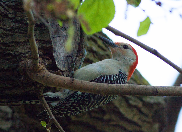 Red-bellied Woodpecker - Central Park, New York