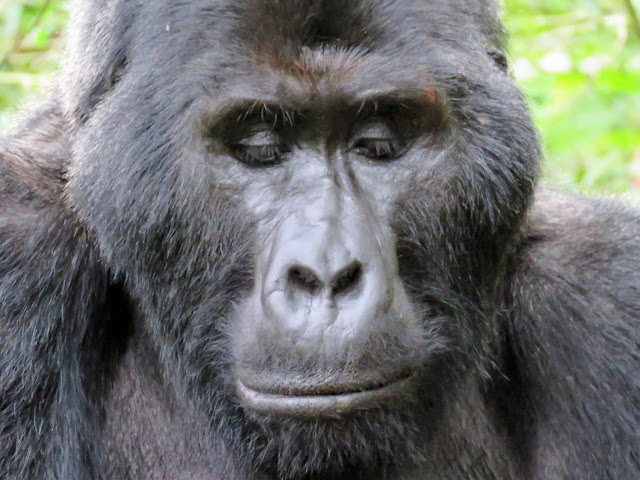 Beta male silverback of the Nkuringo Family of Mountain Gorillas in Uganda