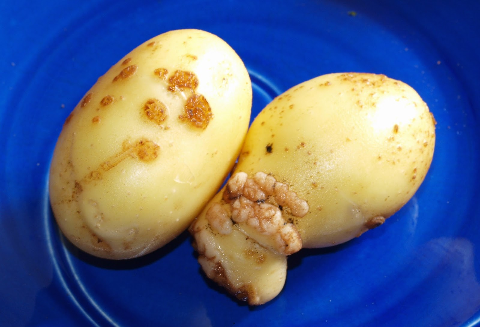 wart disease of potato is caused by