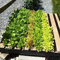 palets de madera reutilizados para plantar vegetales camas