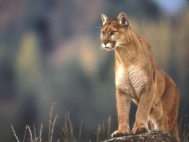 Amazing facts about Puma 1