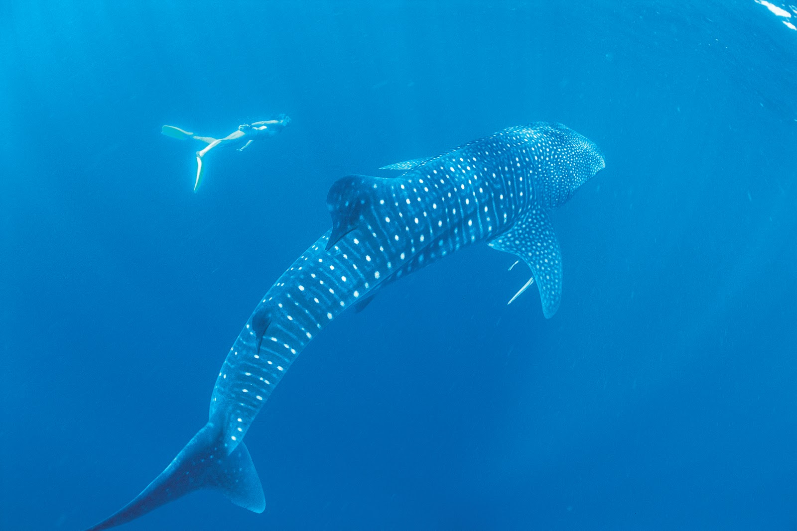 Best Whale Shark Tour Coral Bay
