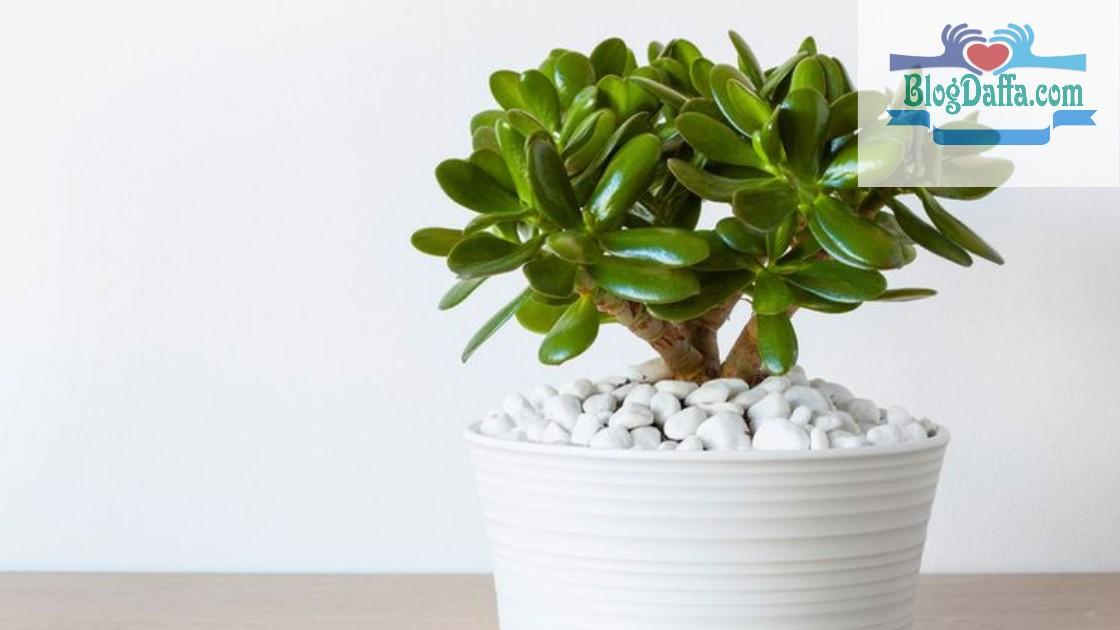 Jade plant tanaman pembawa keberuntungan