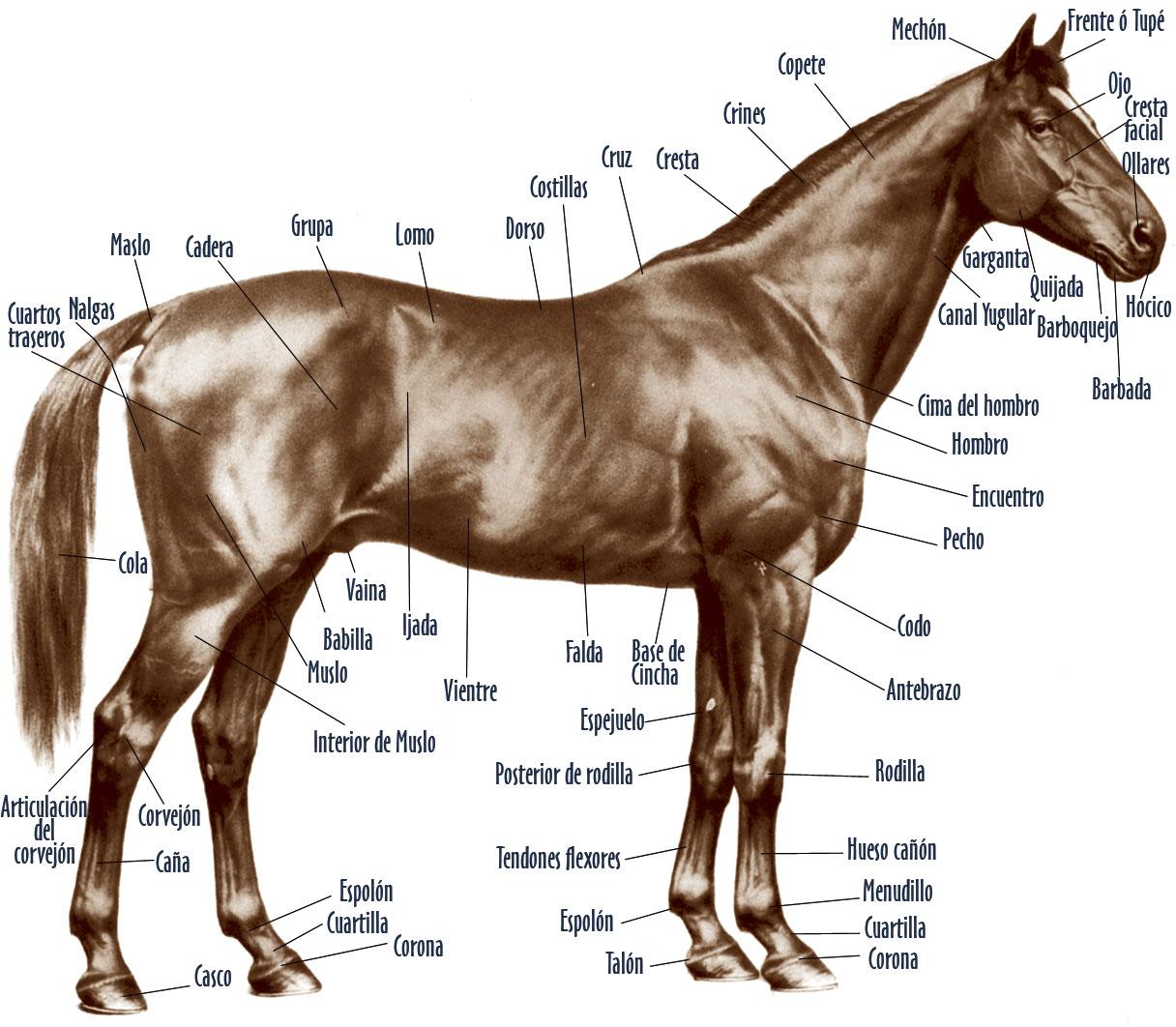 Atlas de los Caballos y Ponis: Anatomía de un caballo