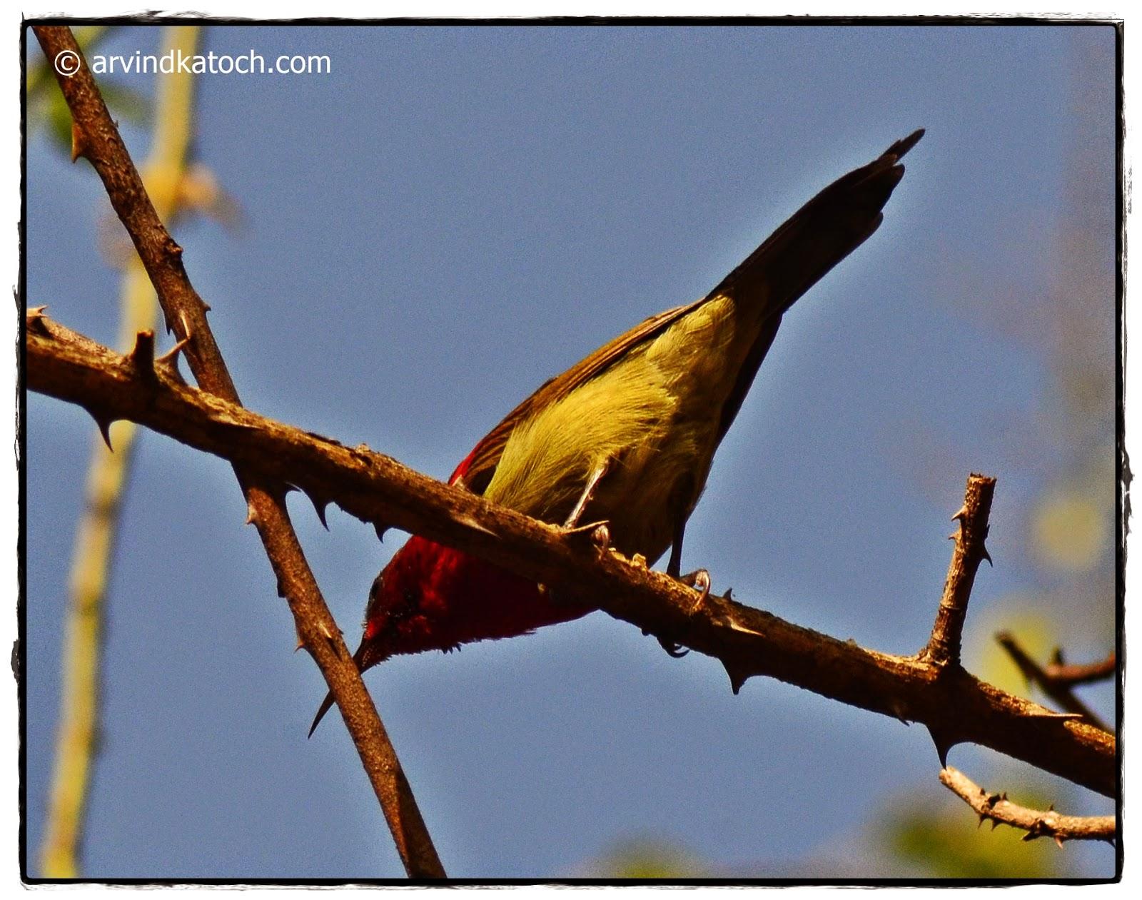 Sunbird, Crimson Sunbird