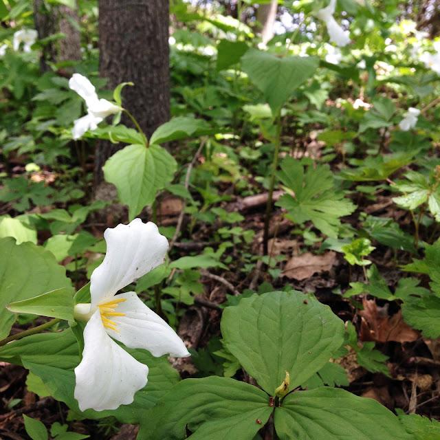 trillium, wildflowers, woodland flowers, spring, Anne Butera, My Giant Strawberry