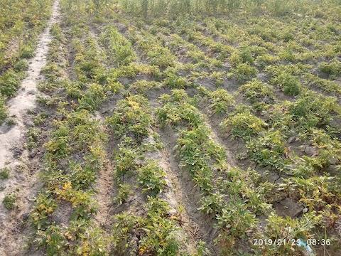 Potato Plant 2312