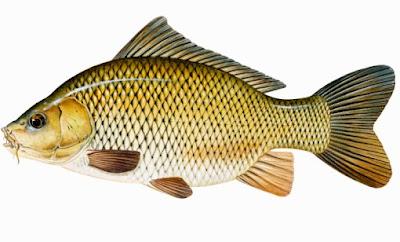 Racikan Umpan Jitu Ikan Mas Yang Sudah Terbukti