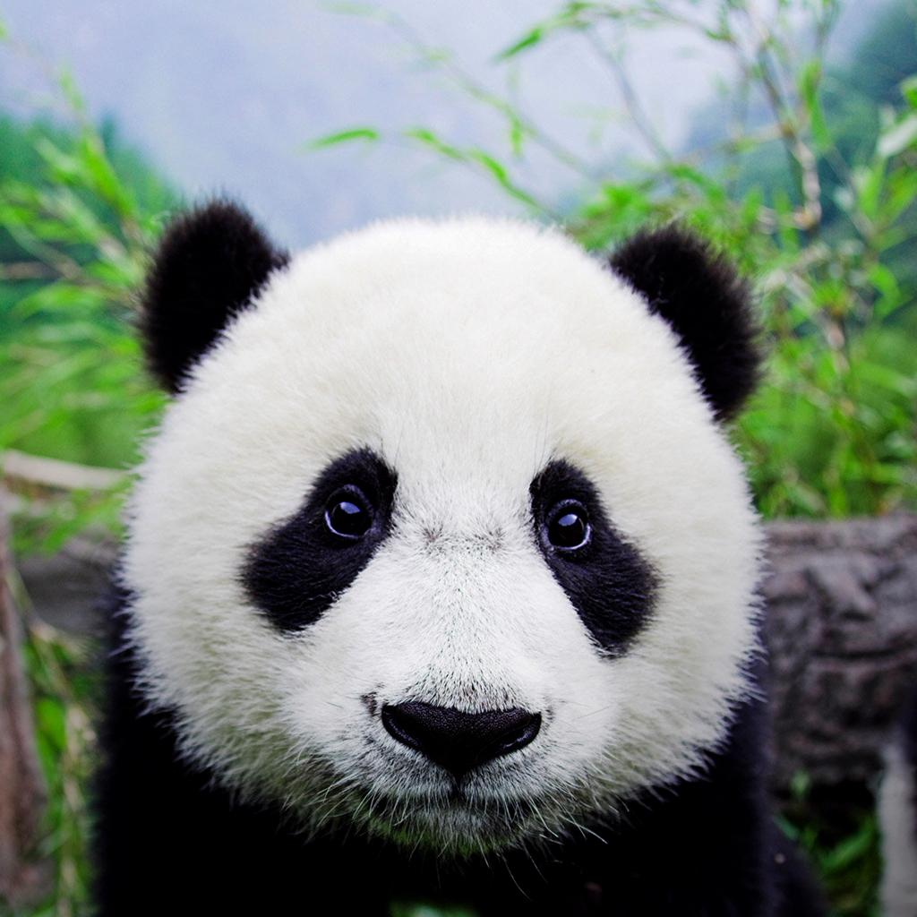 Isysgroup8 Chengdu Panda Base