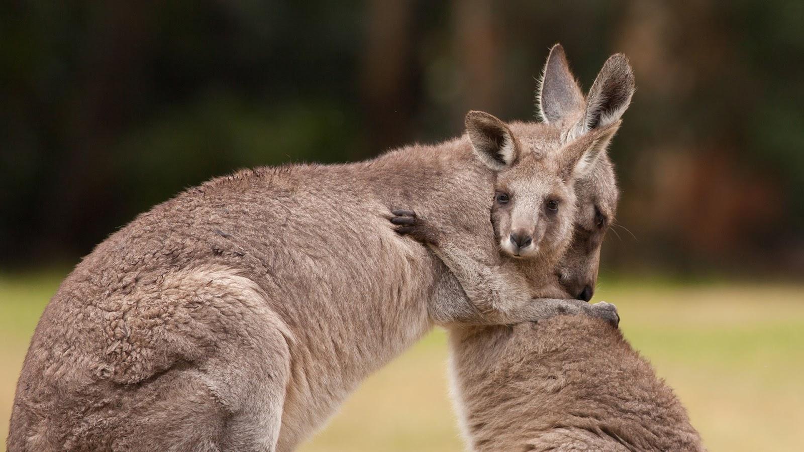 Mother and baby kangaroos hugging © Belle Ciezak/Shutterstock