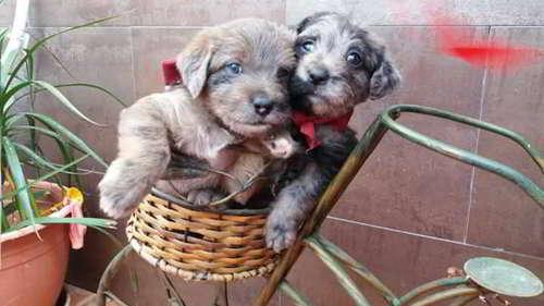 cachorras talla pequena