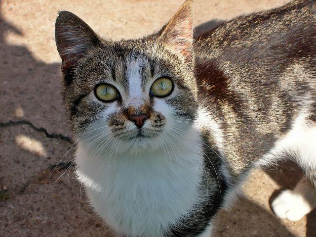 dzień kota, Majka, zdjęcie kota, oczy