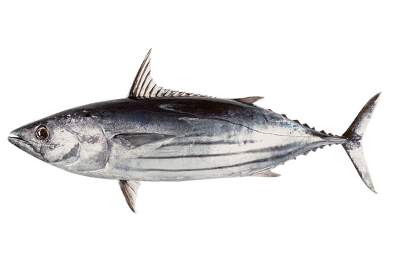 Gambar Jenis Ikan Tuna-Cakalang (Katsuwonus pelamis)