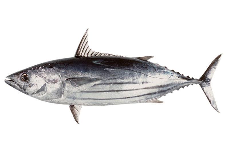 Jenis Jenis Ikan Tuna Dan Gambarnya Paling Lengkap
