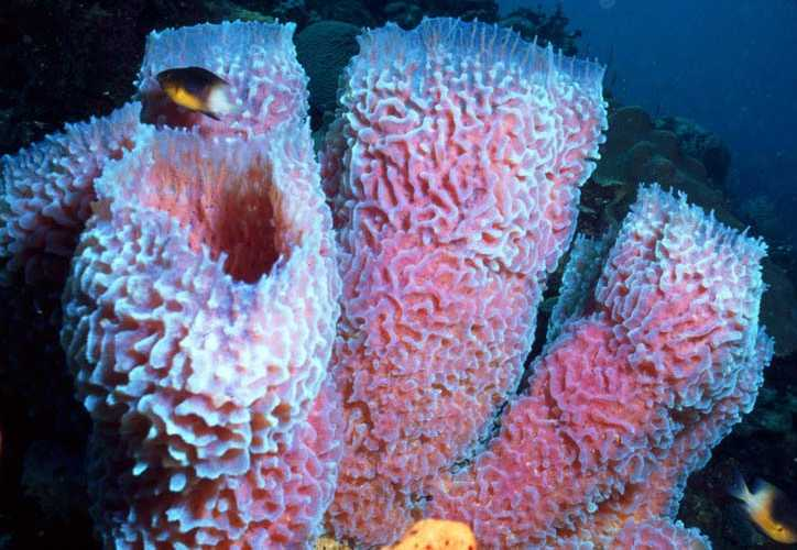 Zoologi Invertebrata Porifera