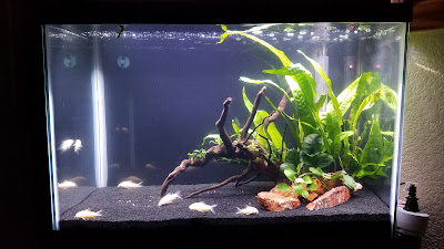 Planted tank with albino cory catfish, java fern, and anubias
